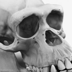 2018.12.07_ChimpanzeeSkull_CU